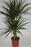 Dracena Marginata (2 troncos) - Planta viva de interior