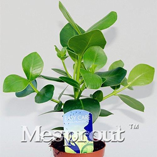 Big Förderung New Rare 5x Signature Tree Seeds, innen Mehrjährige Pflanze Bonsai clusia Rosea Samen