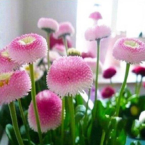 Ncient 30 semi sementi di di margherita semi di bellis perennis semi di fiori di crisantemo bonsai semi di fiori rari piante profumati per orto giardino balcone interni ed esterni