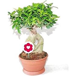 Bonsai Ficus Ginseng - 20cm Topf
