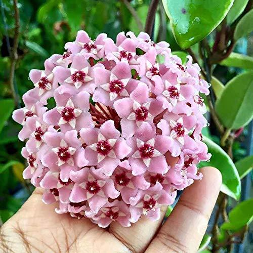 1 pianta di hoya carnosa albomarginata fiore di cera vaso 11cm perenni