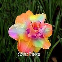 Nuovi semi 2015! Bella narciso Fiore balcone Piante Narciso Semi assorbimento della radiazione Narcissus tazetta Semi, 100 pc / sacchetto - Bella Narciso