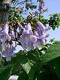 Paulownia -catalpifolia- 100 Samen -Winterhart/Robust & Schnell Wachsend-