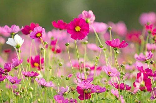 Pinkdose® Pinkdose Blumensamen: Cosmos beste Blume für Garten Balkon Garten Blumensamen für Boundary Garden [Hausgarten Samen Eco Pack] Pflanzensamen von -