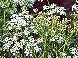 PLAT FIRM Germinazione dei Semi: Cumino dei Prati, Erba 1000+ sementi biologiche, Possibile Utilizzare Semi, impianti e Radici su Questa Erba