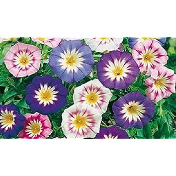 25 graines semence fleur belle de jour violet bleu rose. Black Bedroom Furniture Sets. Home Design Ideas