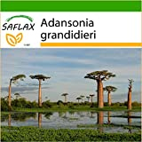 SAFLAX - Malagasy Baobab - 2 Samen - Mit Substrat - Adansonia grandidieri