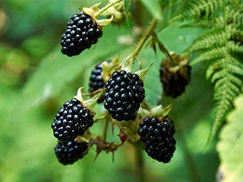 1-pianta-di-mora-gigante-triple-crown-produce-grossi-frutti