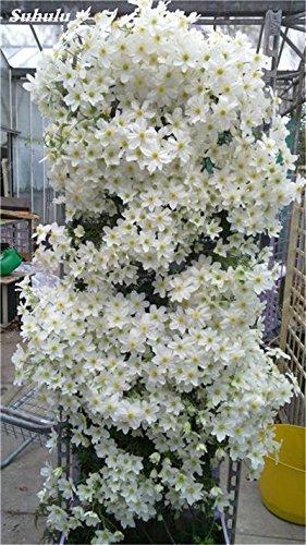 100 Pcs Clematis Graines de plantes Belle Paillage Graines de fleurs Bonsai ou un pot de fleurs vivaces pour jardin Mix Couleurs 18