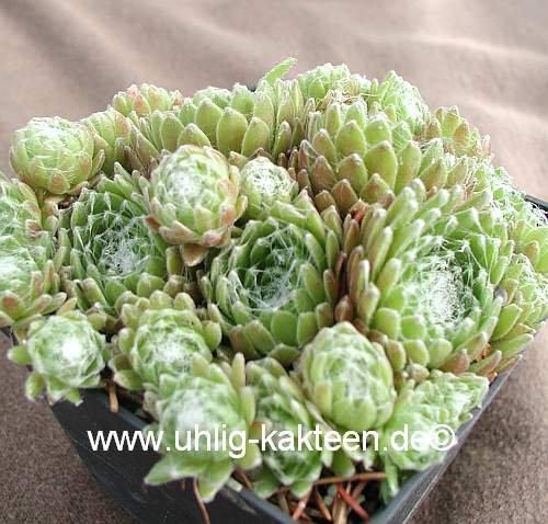 Sempervivum arachnoideum-Hybr. 'Mike' (dw) 9 cm