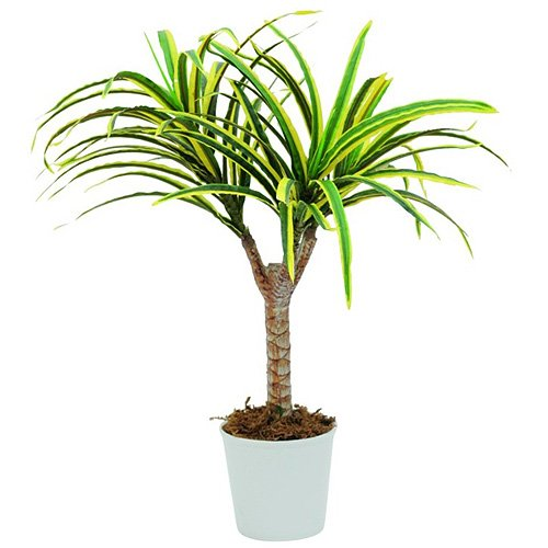 Euro Palms 82505775 Dracena, 50 cm, amarillo/verde