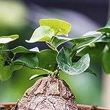 Dioscorea elephantipes (Zampa di Elefante) [Vaso Ø8cm | Bulbo 4-5 cm.]