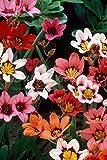200 Bulbes de Sparaxis / Fleurs D'Arlequin en mélange (Livraison gratuite)