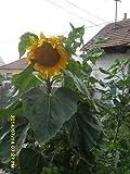 Ungarische Riesensonnenblume, kurze Wachstumszeit, grosse Köpfe gelbe Farbe,von unserer ungarischen Farm samenfest, nur organische Dünger, KEINE Pesztizide