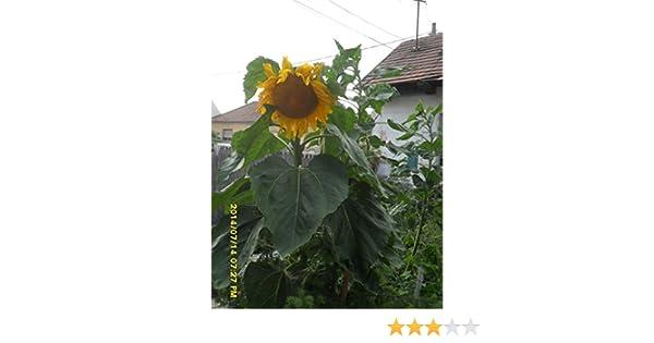 Ungarische Riesen Sonnenblume kurze Wachstumszeit grosse Köpfe bis 4 Meter