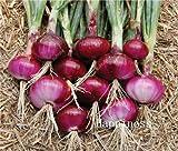 100 Pz Giant Cipolla Bonsai, Cipolla Scalogno, cimelio organici Frutta vegetali Non OGM Plant, commestibile Bonsai pentola per Il Giardino Domestico: 365.016