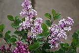 Flieder lila Blüte Zwergflieder Meyers Flieder Palibin Syringa meyeri Palibin 40-60 cm hoch