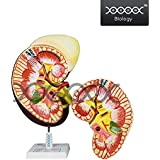 E S A W HUMAN KIDNEY ANATOMICAL MODEL ON STAND, 2 PARTS