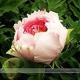 Pinkdose® 2018 Heißer Verkauf Heirloom Hellrosa Rose Red Tree Pfingstrose 'Qiu Ball' Blumensamen, Professional Pack, 5 Samen/Pack, Starke Duftende Blume
