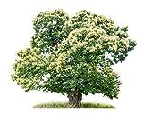 Baum des Jahres 2018 - Edelkastanie