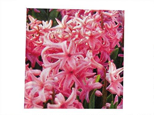 Hyazinthe Mulitflora rosa