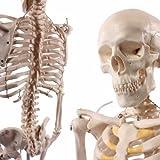 Cranstein A-117 Mini-Skelett Modell, 85cm - Anatomie-Modell als Lernmodell oder Lehrmittel