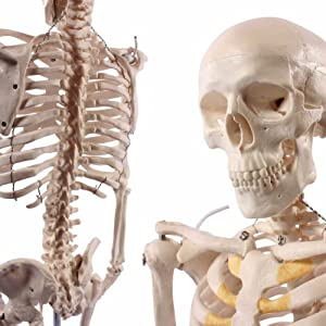 Cranstein A-117 Mini-Skelett Modell, 85cm - Anatomie-Modell als Lernmodell...