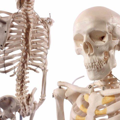 S24.1175 - Mini esqueleto (85 centímetros)