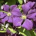 Clematis viticella Etoile Violette 60 -100 cm 2 L Co. von VDG-KL-Baumschule bei Du und dein Garten