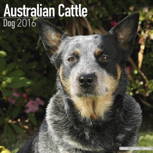 51efC41xBiL UK BEST BUY #1AUSTRALIAN CATTLE DOG 2016 Wall Calendar price Reviews uk