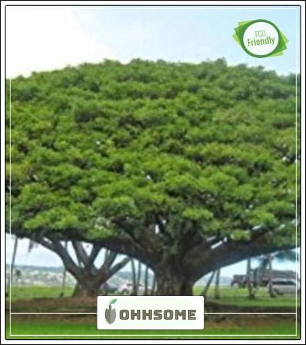 Pinkdose Baumsamen: Coco Tamarind - Schattenbaum für einen Garten HomPinkdose Pack-Seed