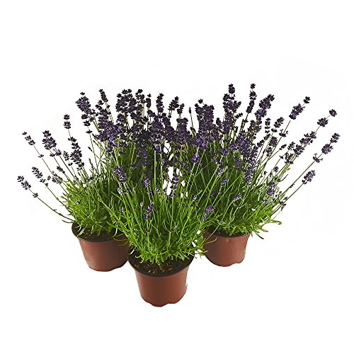 3 Pflanzen Echter Lavendel Spar-Set - herrlich duftende Lavendelkräuter im Topf - beste Gärtnerqualität - beliebtes Duftkraut (Lavendel-pflanzen-topf)