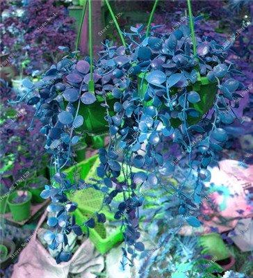 Multi Color Seed 100% Vrai Parthenocissus tricuspidata Seed, japonais Creeper Flowerpot Seed Pack Professionnel 20 Pcs / Sac 3