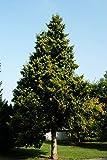 Thuja Abendländischer Lebensbaum Hecke Wurzelware 60-80 cm hoch 10 Stück im Sparpaket - Thuja occidentalis floranza®