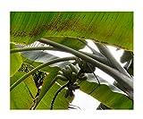 ★★ Essbare Blaue Banane ★★ -musa itinerans- 10 Samen -Winterhart bis -20 Crad-