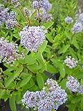 Säckelblume Marie Bleu (R) - Ceaothus delilianus Marie Blue (40-60)