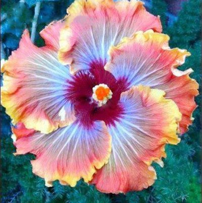 hibiscus achat vente de hibiscus pas cher. Black Bedroom Furniture Sets. Home Design Ideas