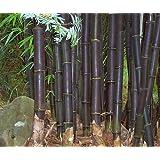 Bambusa lako - bambou noir de Timor - 15 graines