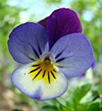 Viola tricolor, Heartsease, 1g approx 1600 seeds, untreated