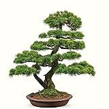 Doubleer 30 Teile/paket Japanischen Zeder Samen Hausgarten Dekoration Bonsai Samen