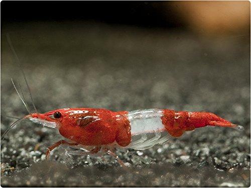Zucht - Neocaridina davidi (Heteropoda) VAR.Red Rili 10 Tiere + 10 Walnussblätter
