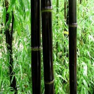 Tropicaflore - Phyllostachys Nigra - Pot de 15L 180/200cm