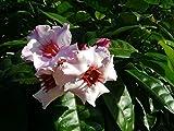 Asklepios-seeds® - Strophantus gratus, 50 Samen, Strophanthus Saatgut, Ouabain