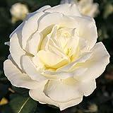 Kordes Rosen Edelrose, Memoire, reinweiß mit cremefabenen schattierungen, 12 x 12 x 40 cm, 600-31