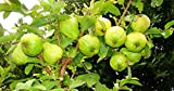 #9: Shukla Business Group Guava Live Plant for Home and Garden