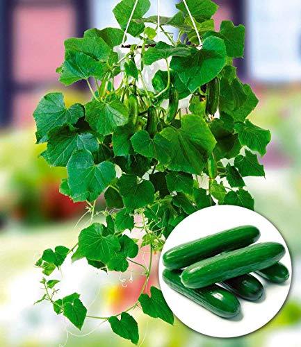MEIGUISHA Gartensamen - Veredelte Hänge Mini Gurke 'Mini Stars' F1 BIO-Salatgurke Samen Snack Gemüse Obst Samen Ertragreich Mehrjährig Winterhart Für Garten Balkon/Terrasse (50)