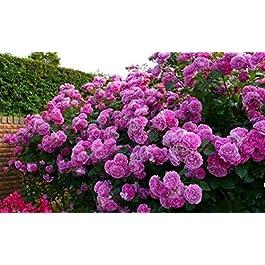 20 semi / pack di vendita superiore di alta qualità Bonsai viola rosa rampicante semina il trasporto libero per il…