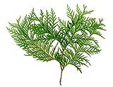 Ambrosial–Parfums du ciel d'huile essentielle de bois de Thuya Thuya occidental 100% naturel