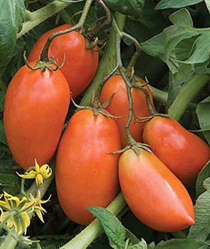 Shopmeeko Graines: 50PCS, Heirloom & # 39; San Marzano & # 39; Tomate biologique, fruits non OGM et des légumes, des plantes en pot bio pour le jardin de la maison