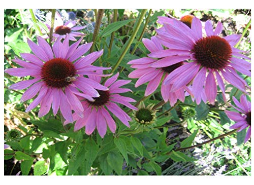 seedsown Echinacea - Sonnenhut - Purple - 360 Blumensamen